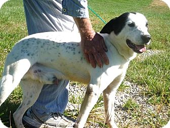 Dalmatian/Labrador Retriever Mix Dog for adoption in Zanesville, Ohio - # 292-12  RESCUED!
