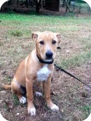 Labrador Retriever Mix Puppy for adoption in Newtown, Connecticut - Candy