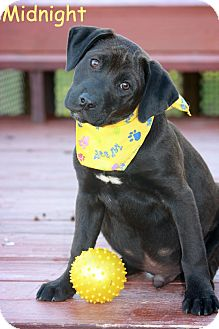Labrador Retriever/Hound (Unknown Type) Mix Puppy for adoption in Albany, New York - Midnight