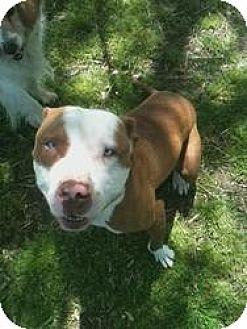 American Pit Bull Terrier Dog for adoption in Muskogee, Oklahoma - Mr.Bones
