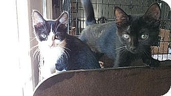 Domestic Shorthair Cat for adoption in Los Angeles, California - Gina