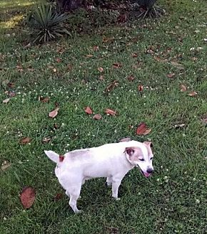 Jack Russell Terrier Dog for adoption in Columbia, Tennessee - Little Jack/TN