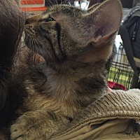 Adopt A Pet :: Kayla - Sacramento, CA