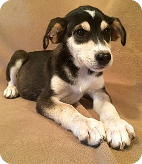 Husky/Labrador Retriever Mix Puppy for adoption in Kittery, Maine - Sasha