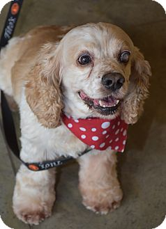 Cocker Spaniel Dog for adoption in Austin, Texas - Mr Belvedere