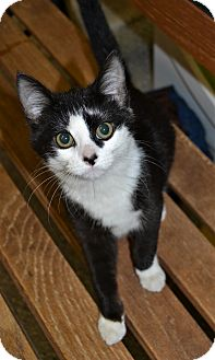 Domestic Shorthair Kitten for adoption in Michigan City, Indiana - Saucey