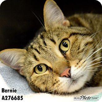 Bengal Cat for adoption in Conroe, Texas - BERNIE