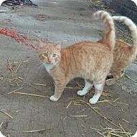 Adopt A Pet :: Mittens - Lodi, CA