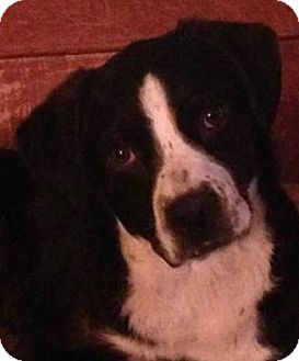 Boston Terrier/Labrador Retriever Mix Dog for adoption in Hartford, Connecticut - Martin