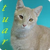 Domestic Shorthair Cat for adoption in Brookings, South Dakota - Stuart