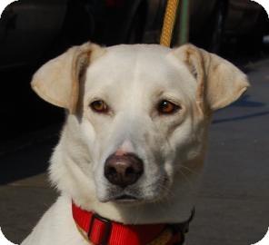 Labrador Retriever Mix Puppy for adoption in Brooklyn, New York - Tara