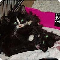 Adopt A Pet :: 2 b/w kittens - Westfield, MA