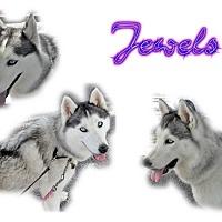 Adopt A Pet :: Jewels - Seminole, FL