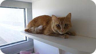 Domestic Mediumhair Cat for adoption in Edgewood, New Mexico - Maryann