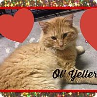 Adopt A Pet :: Ol' Yeller - Bentonville, AR