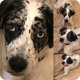 Catahoula Leopard Dog/Australian Shepherd Mix Dog for adoption in Miramar, Florida - Max