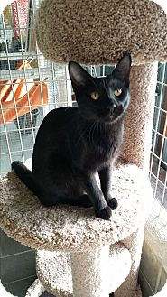 Domestic Shorthair Cat for adoption in Montgomery City, Missouri - Jagg