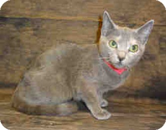 Calico Cat for adoption in Merrifield, Virginia - Honey