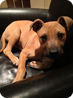 German Shepherd Dog/Shepherd (Unknown Type) Mix Puppy for adoption in North Brunswick, New Jersey - Jack