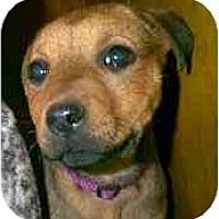 Adopt A Pet :: Angie - dewey, AZ
