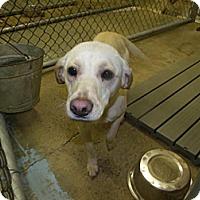 Adopt A Pet :: Sarah - Rocky Mount, NC