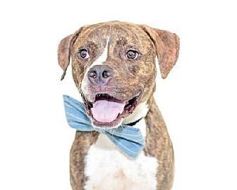 Boxer Mix Dog for adoption in Palm City, Florida - Tate