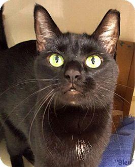 Domestic Shorthair Cat for adoption in Key Largo, Florida - Bleu