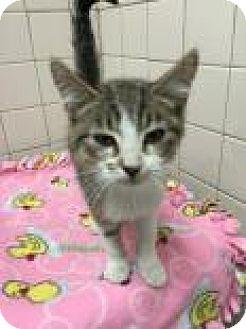 Domestic Shorthair Cat for adoption in Columbus, Georgia - Godfrey 7668