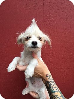 Terrier (Unknown Type, Small) Mix Puppy for adoption in Eugene, Oregon - Fabio