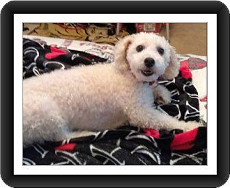 Bichon Frise Dog for adoption in Tulsa, Oklahoma - Adopted!! Marco - GA
