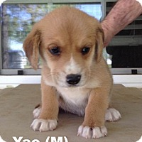 Adopt A Pet :: Mulan's Pup Yao - Tampa, FL