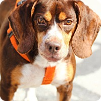 Adopt A Pet :: Duke - Lafayette, IN