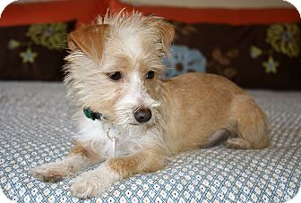 Terrier (Unknown Type, Small)/Norfolk Terrier Mix Puppy for adoption in Bellflower, California - Peaches
