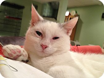 Domestic Shorthair Kitten for adoption in East Hanover, New Jersey - Storm