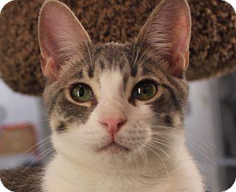 Domestic Shorthair Kitten for adoption in Winchester, California - Crescendo
