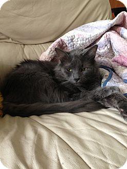 Russian Blue Cat for adoption in Harvey, Louisiana - Nick