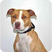 Adopt A Pet :: Molly - Port Washington, NY