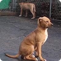 Adopt A Pet :: BamBAM - Cincinnati, OH