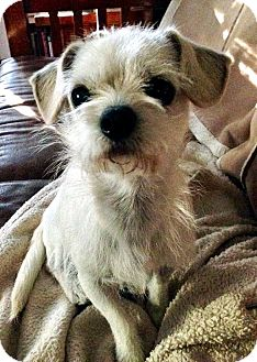 Terrier (Unknown Type, Small) Mix Dog for adoption in Tijeras, New Mexico - Saul