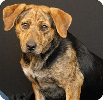 Beagle/Boxer Mix Dog for adoption in Newland, North Carolina - Chamomile