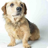 Adopt A Pet :: BUTTERS - Ukiah, CA
