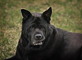 Akita/Chow Chow Mix Dog for adoption in DeSoto, Iowa - Ramona