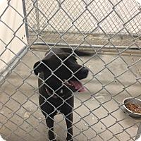 Adopt A Pet :: Ebony - California City, CA