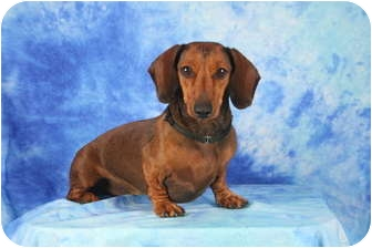 Dachshund Dog for adoption in Ft. Myers, Florida - Kate