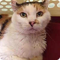 Calico Cat for adoption in Chicago, Illinois - Audra