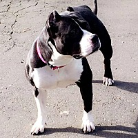 American Pit Bull Terrier Mix Dog for adoption in New Canaan, Connecticut - Scarlett