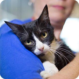 Domestic Shorthair Cat for adoption in Wichita, Kansas - Tilly