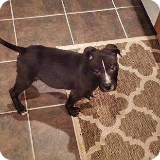 American Pit Bull Terrier Mix Puppy for adoption in West Allis, Wisconsin - Jax