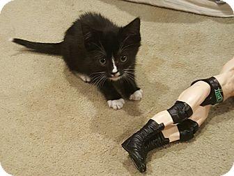 Domestic Shorthair Kitten for adoption in Raritan, New Jersey - Oreo