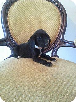 Labrador Retriever Mix Puppy for adoption in Gaithersburg, Maryland - Lil Moe